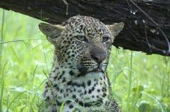 豹子(豹属pardus)崽在雨中 免版税库存照片