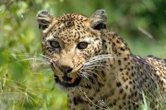 豹子(豹属pardus),克鲁格Nati 免版税库存照片