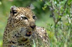 豹子(豹属pardus),克鲁格Nati 图库摄影