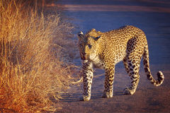 豹子(豹属pardus) 免版税库存图片