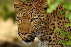 豹子(豹属pardus) 库存照片