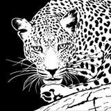 豹子 库存例证