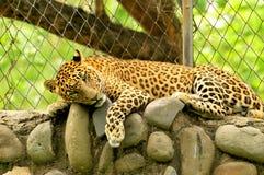 豹子 库存照片