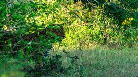 豹子 免版税库存图片