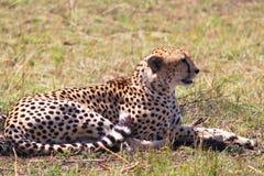 豹子- Safary肯尼亚 库存图片