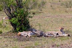 豹子- Safary肯尼亚 免版税库存图片