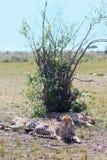 豹子- Safary肯尼亚 免版税库存照片