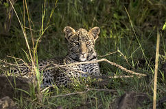 豹子Cub 免版税库存照片