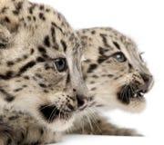 豹子panthera安色尔字体雪的uncia 免版税库存照片