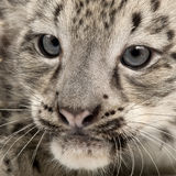 豹子panthera安色尔字体雪的uncia 库存图片