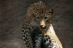 豹子panthera pardus 库存照片