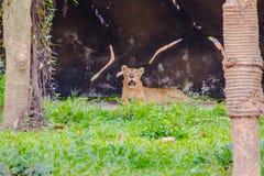 豹属利奥或者狮子在动物园里 免版税库存图片