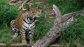 豹属在玻利维亚,南美洲 免版税图库摄影