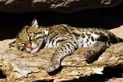 豹猫休息在阳光下与在他的面孔的微笑! 库存照片