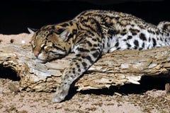 豹猫休息在阳光下! 库存图片