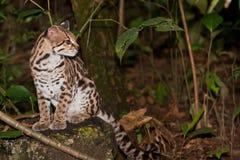 豹猫在密林 免版税库存照片