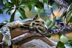 豹猫垂悬在芒果树 免版税库存图片