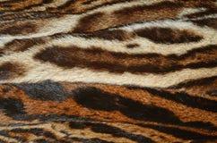 豹猫毛皮 图库摄影