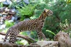 豹猫, 库存图片