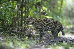 豹猫, Leopardus pardalis 免版税库存照片