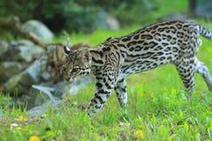 豹猫 免版税图库摄影