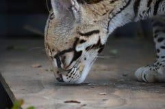 豹猫 免版税库存照片
