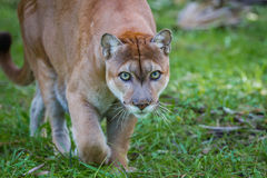 豹通过森林地板偷偷靠近牺牲者 图库摄影