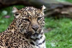 豹 免版税库存图片