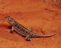 豹Skink在沙漠 免版税库存图片