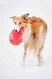 拿着玩具和看照相机的博德牧羊犬 库存图片