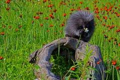 貂皮坐野花的注册领域 库存图片