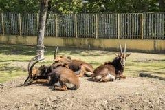 貂羚弯角羚属尼日尔是在肯尼亚南部的东非居住树木繁茂的大草原的一只羚羊,和在来自南方的风暴 免版税图库摄影