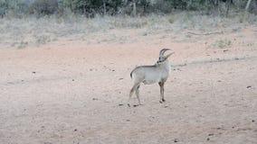 貂羚通过大草原小心地移动 影视素材