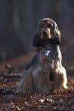 黑貂英国猎犬在森林里 库存图片