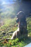黑貂英国猎犬 免版税库存图片