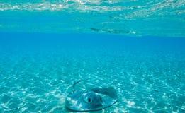 黄貂鱼在马尔代夫 库存图片