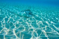 黄貂鱼坐海底 库存图片