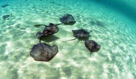 黄貂鱼游泳在海洋的一个小组 库存照片
