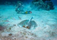 黄貂鱼水下的行为 库存图片