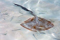 黄貂鱼 图库摄影
