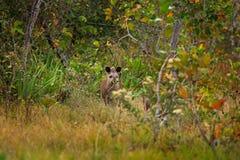貘在栖所,暗藏的绿色植被 貘本质上 南美貘,貘类动物terrestris,在绿色植被 关闭u 库存图片