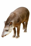 貘类动物terrestris 免版税库存图片