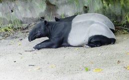 貘 马来西亚貘 库存照片