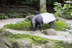 貘 马来西亚貘 免版税库存照片