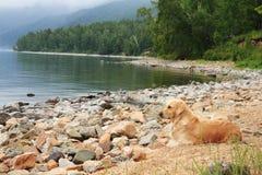 贝加尔湖海岸的拉布拉多  免版税库存照片