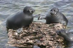 贝加尔湖淡水密封 免版税库存图片