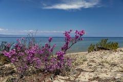 贝加尔湖,开花的杜鹃花岸  免版税库存图片