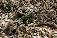 贝壳和小绿色灌木岩石表面上 库存图片