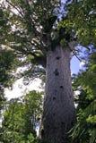 贝壳杉大mahuta tane结构树 库存照片