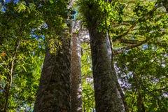 贝壳杉树在一个森林里在新西兰 免版税库存照片